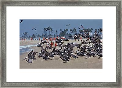 Junior Lifeguards And Pelicans Framed Print