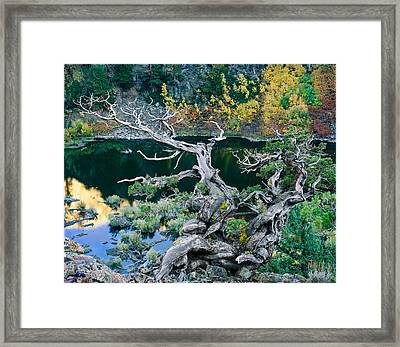 Juniper Framed Print by Tim Fleming