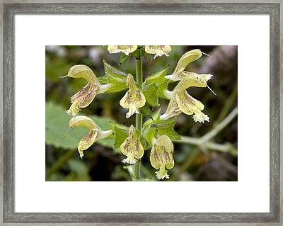 Jupiter's Distaff (salvia Glutinosa) Framed Print by Bob Gibbons