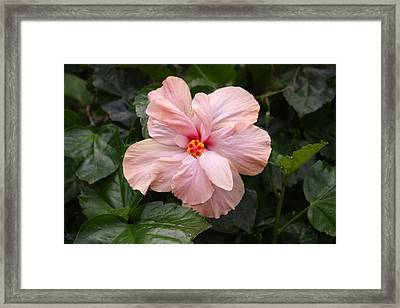 Framed Print featuring the photograph Just Blossoming Hibiscus by Craig Wood
