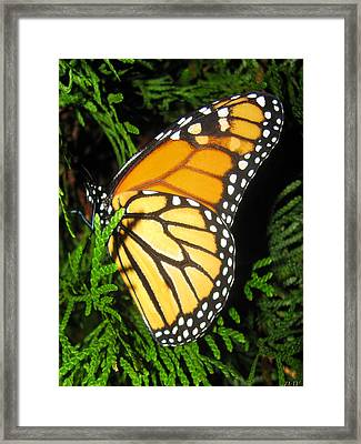 Just Out Of Cacoon Framed Print by Debra     Vatalaro