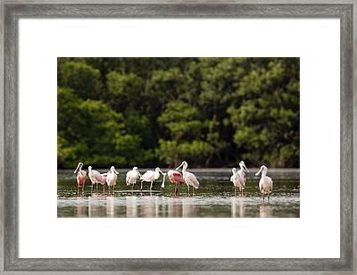 Juvenile And Adult Roseate Spoonbills Framed Print