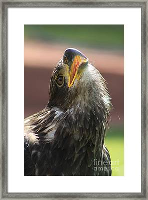 Framed Print featuring the photograph Juvenile Bald Eagle by Alyce Taylor
