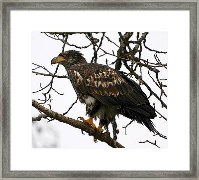 Framed Print featuring the digital art Juvenile Bald Eagle by Carrie OBrien Sibley