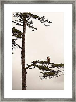 Juvenile Bald Eagle Perching In Tree Framed Print by Steven Errico