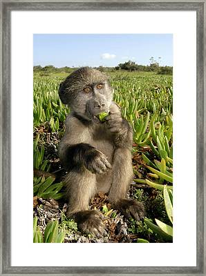 Juvenile Chacma Baboon Framed Print by Peter Chadwick
