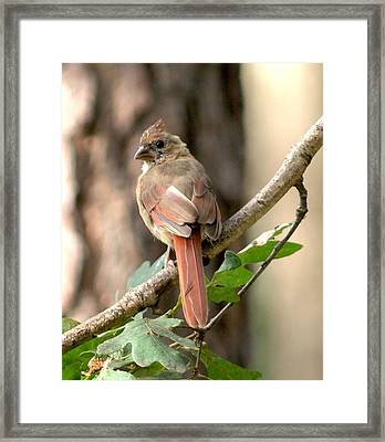 Juvenile Female Cardinal Camouflaged Framed Print