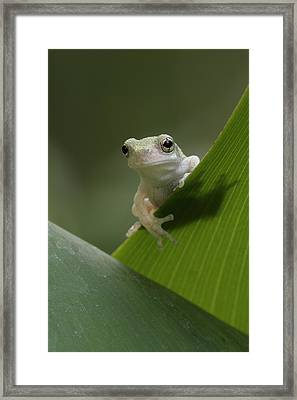 Framed Print featuring the photograph Juvenile Grey Treefrog by Daniel Reed