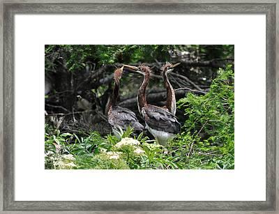 Juvenile Herons Framed Print by Ernst Schwarz