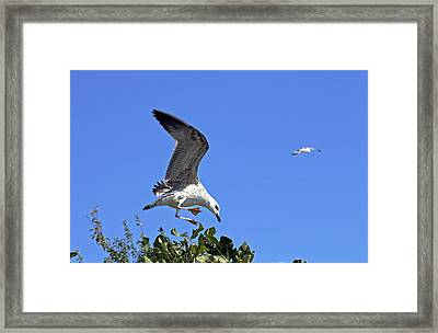 Juvenile Herring Gull Framed Print by Tony Murtagh