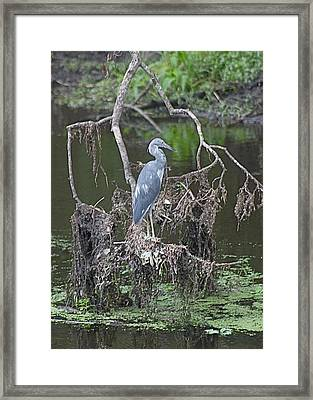 Juvenile Little Blue Heron Framed Print