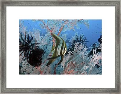 Juvenile Longfin Spadefish Framed Print by Jones/Shimlock-Secret Sea Visions