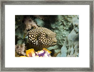 Juvenile Map Pufferfish Framed Print by Georgette Douwma