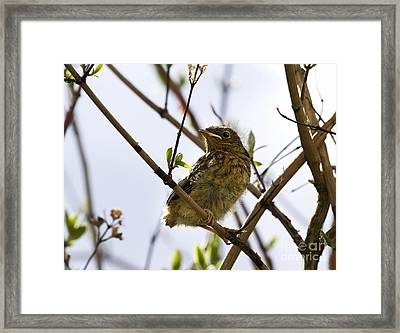 Juvenile Robin Framed Print by Jane Rix
