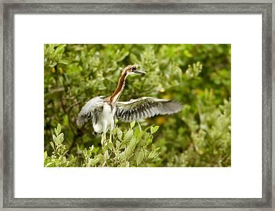 Juvenile Tricolored Heron Egretta Framed Print by Tim Laman