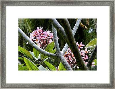 Kalachuchi Flowers Framed Print by Andre Salvador