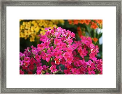 Kalanchoe Framed Print by LC  Linda Scott