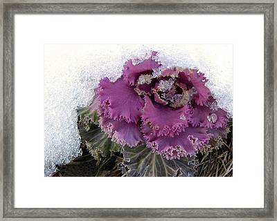 Kale Plant In Snow Framed Print by Sandi OReilly