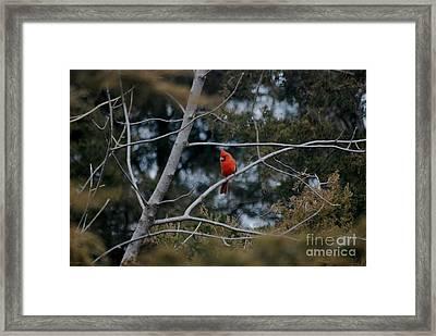 Kansas Cardinal Framed Print