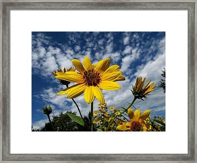 Kansas Sunflower Framed Print by Ed Golden