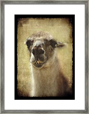 Karma Llama Framed Print by Julie Williams