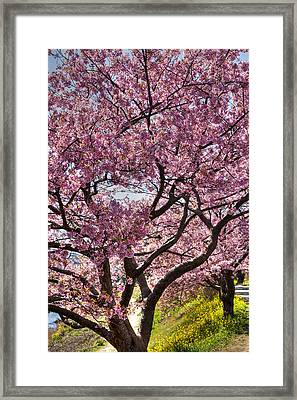 Framed Print featuring the photograph Kawazu Sakura  by Tad Kanazaki