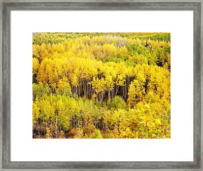 Kebler Pass Aspens Framed Print by Mike Norton