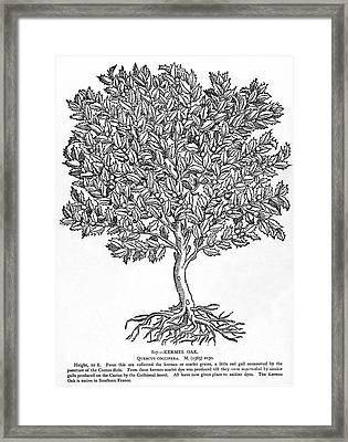 Kermes Oak Tree Framed Print by Granger