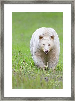 Kermode Bear Framed Print by Brandon Broderick