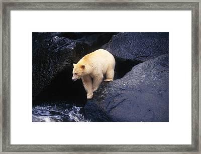 Kermode Bear On Boulder Hunting Salmon Framed Print by Natural Selection David Ponton