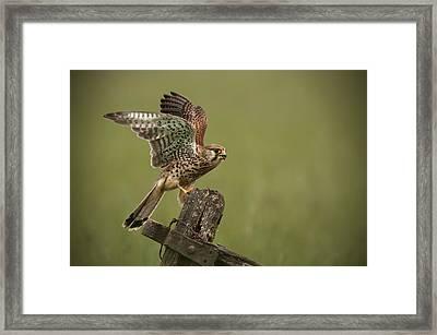 Kestrel Framed Print by Andy Astbury