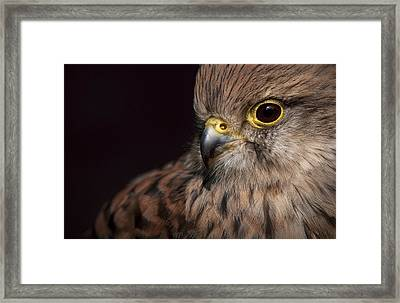 Kestrel Close Up Framed Print
