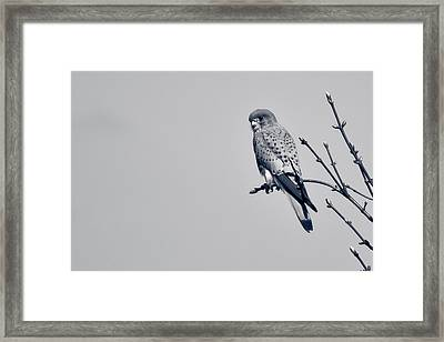 Framed Print featuring the photograph Kestrel by Justin Albrecht