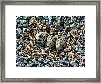 Killdeer Bird Eggs Framed Print