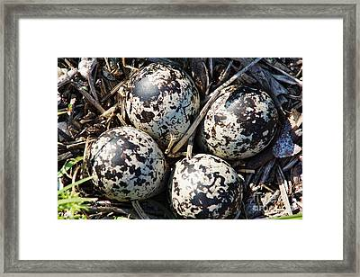 Killdeer Eggs 2 Framed Print