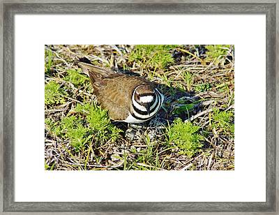 Killdeer On Eggs Framed Print