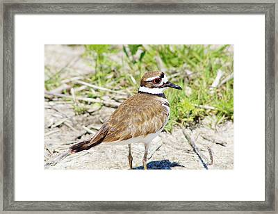 Killdeer Pose Framed Print