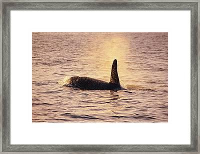 Killer Whale Framed Print by Alexis Rosenfeld