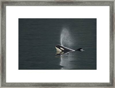 Killer Whale Calf Blows As It Surfaces Framed Print by Ralph Lee Hopkins