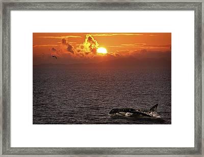 Killer Whale In The Water Framed Print by Richard Wear