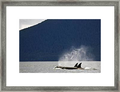 Killer Whales, Alaska, Usa Framed Print by Richard Wear