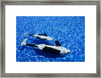 Killer Whales Framed Print by Dave Fleetham - Printscapes