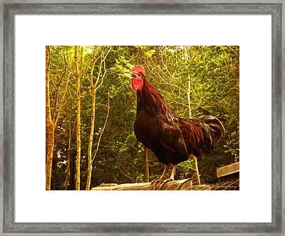 King Of The Barnyard - Rooster Framed Print by Yvon van der Wijk