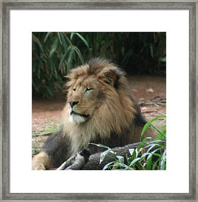 King Of The Pride Framed Print by Debi York
