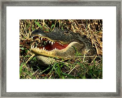 Framed Print featuring the photograph King Of The Swamp by Myrna Bradshaw