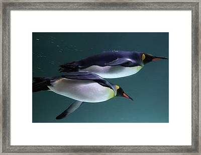 King Penguins Australia Framed Print by Timphillipsphotos