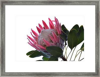 King Protea. Framed Print