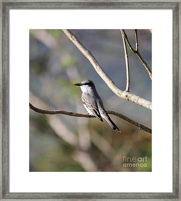 Kingbird Framed Print