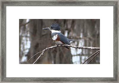 Kingfisher Framed Print by Betty Berard