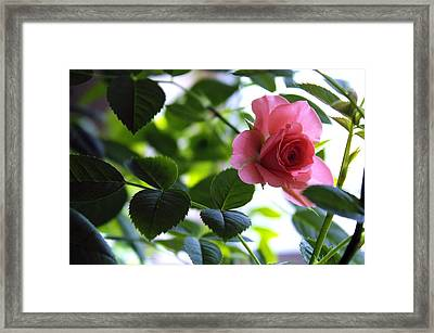 Kissed By A Rose Framed Print